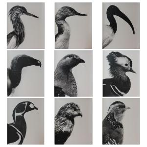 Aves-Ucelli